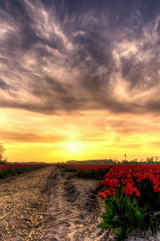 iPhone Wallpaper Red tulips field, sunset, glare