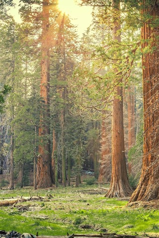 iPhone Wallpaper Sequoia National Park, forest, trees, sun rays, nature, USA