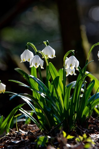 iPhone Wallpaper Snowdrops, white flowers, green foliage, spring