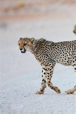 iPhone Wallpaper Some cheetah cubs, wildlife