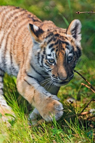 iPhone Wallpaper Tiger cub walking in the grass, summer