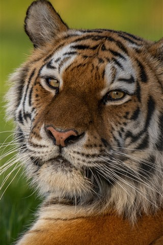 iPhone Wallpaper Tiger look back, face, green background