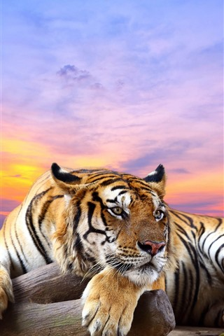 iPhone Wallpaper Tiger, rest, paws, red sky, sunset