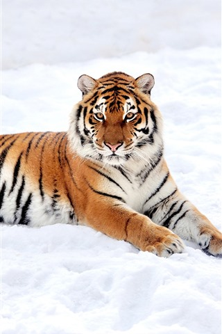 iPhone Wallpaper Tiger rest, snow, winter, white world