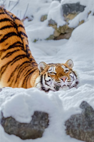 iPhone Wallpaper Tiger, snow, pose, winter