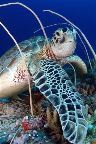 iPhone Wallpaper Turtle, coral, sea