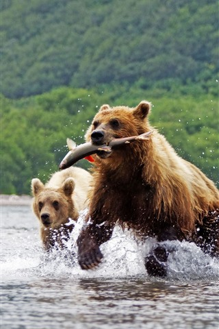 iPhone Wallpaper Two brown bears, catching fish, river