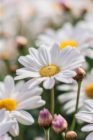 iPhone Wallpaper White chamomile, flowers, petals, spring