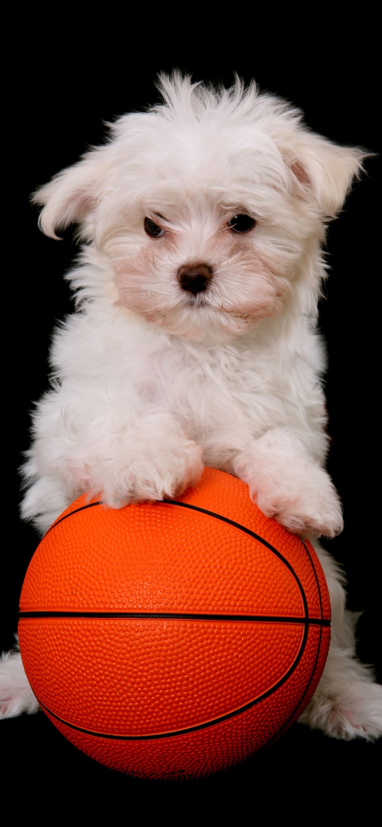 White Puppy And Basketball Black Background 1242x2688 Iphone 11