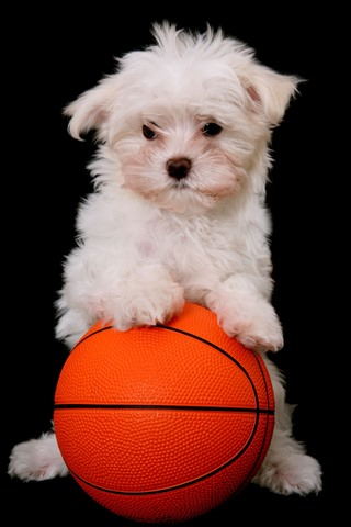 iPhone Wallpaper White puppy and basketball, black background