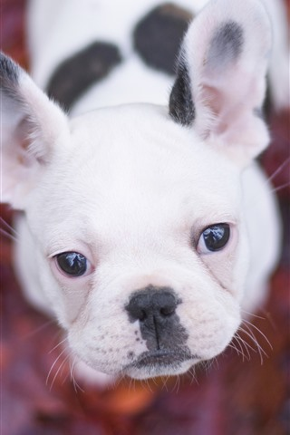 iPhone Wallpaper White puppy look up