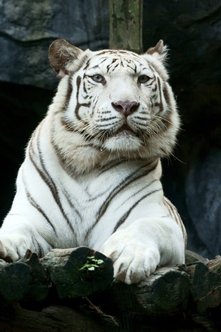 iPhone Wallpaper White tiger, look, zoo