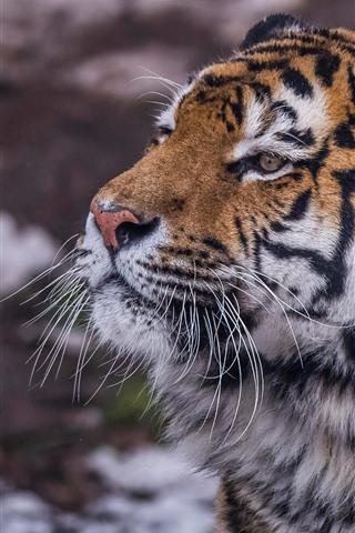 iPhone Wallpaper Wildlife, tiger, face, look
