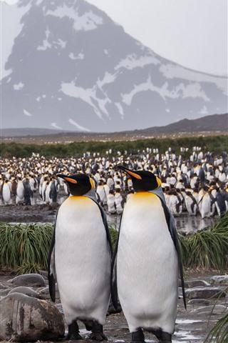 iPhone Wallpaper A lot of penguins