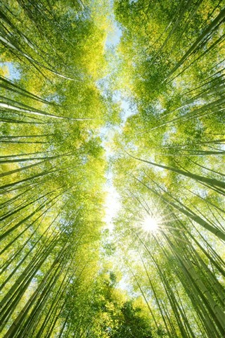 iPhone Wallpaper Bamboo forest, green, sun rays, from bottom view