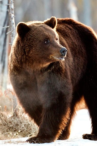 iPhone Wallpaper Brown bear look back, winter, snow