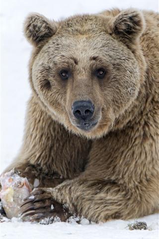 iPhone Wallpaper Brown bear, sit on ground, snow, winter