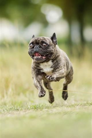 iPhone Wallpaper Bulldog running