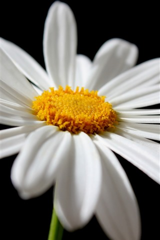 iPhone Wallpaper Daisy, white petals close-up, black background