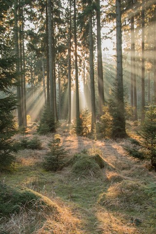 iPhone Wallpaper Forest, trees, sun rays, morning, nature landscape