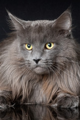 iPhone Wallpaper Furry gray cat, look, yellow eyes, black background