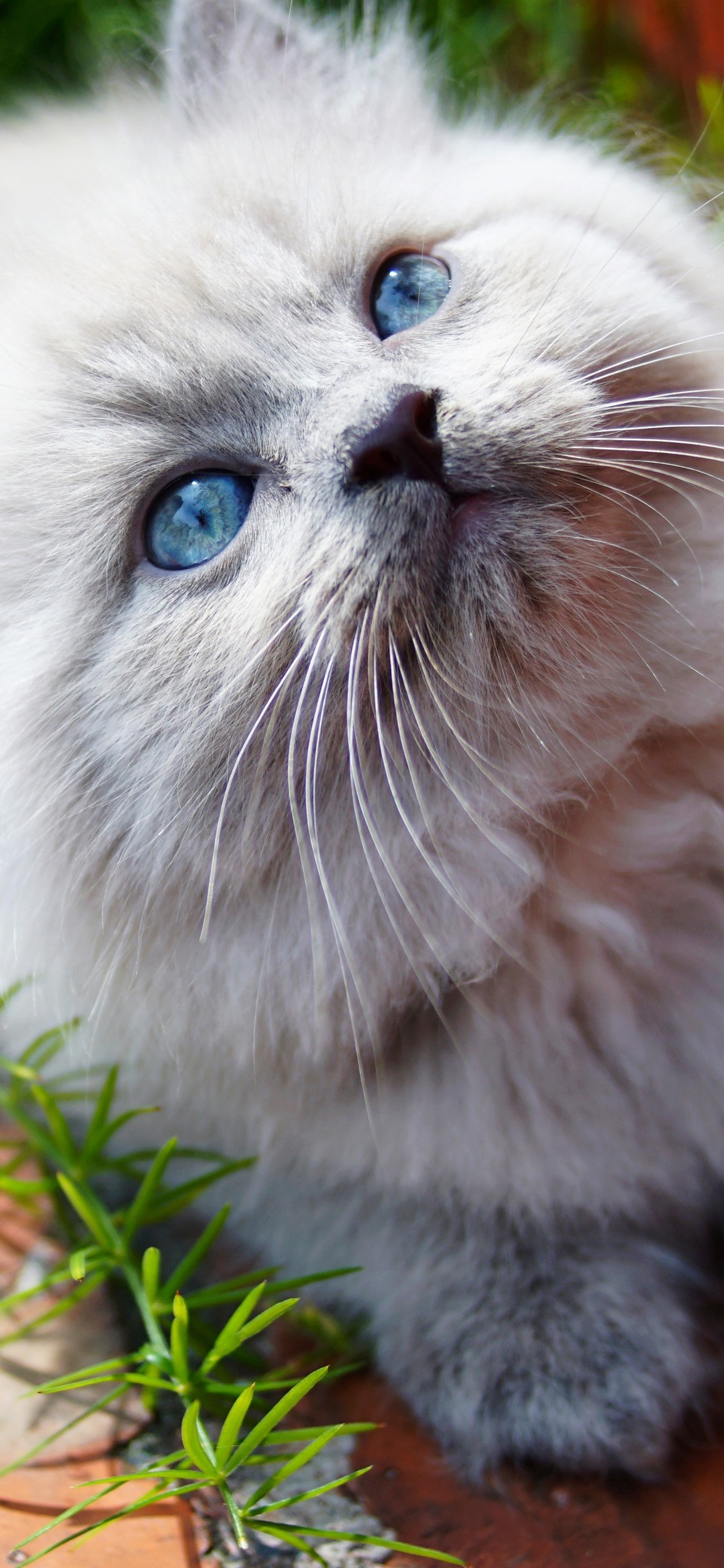 Furry White Kitten Look Up Blue Eyes 1242x2688 Iphone Xs