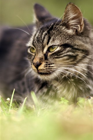 iPhone Wallpaper Gray cat, look, face, grass, hazy background