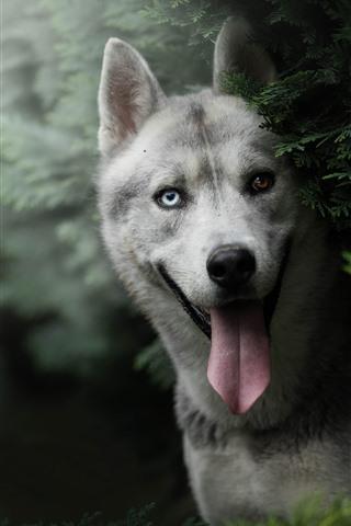 iPhone Papéis de Parede Cão Husky, olhos brancos e castanhos, olhar