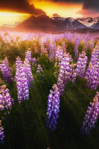 iPhone Papéis de Parede Islândia, flores cor-de-rosa do lupine, por do sol, montanhas