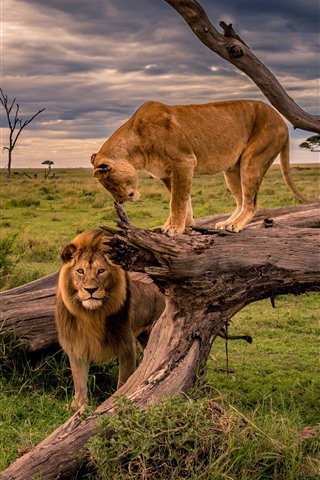 iPhone Wallpaper Lion and lioness, Africa, wildlife