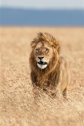 iPhone Wallpaper Lion in the wind, Africa