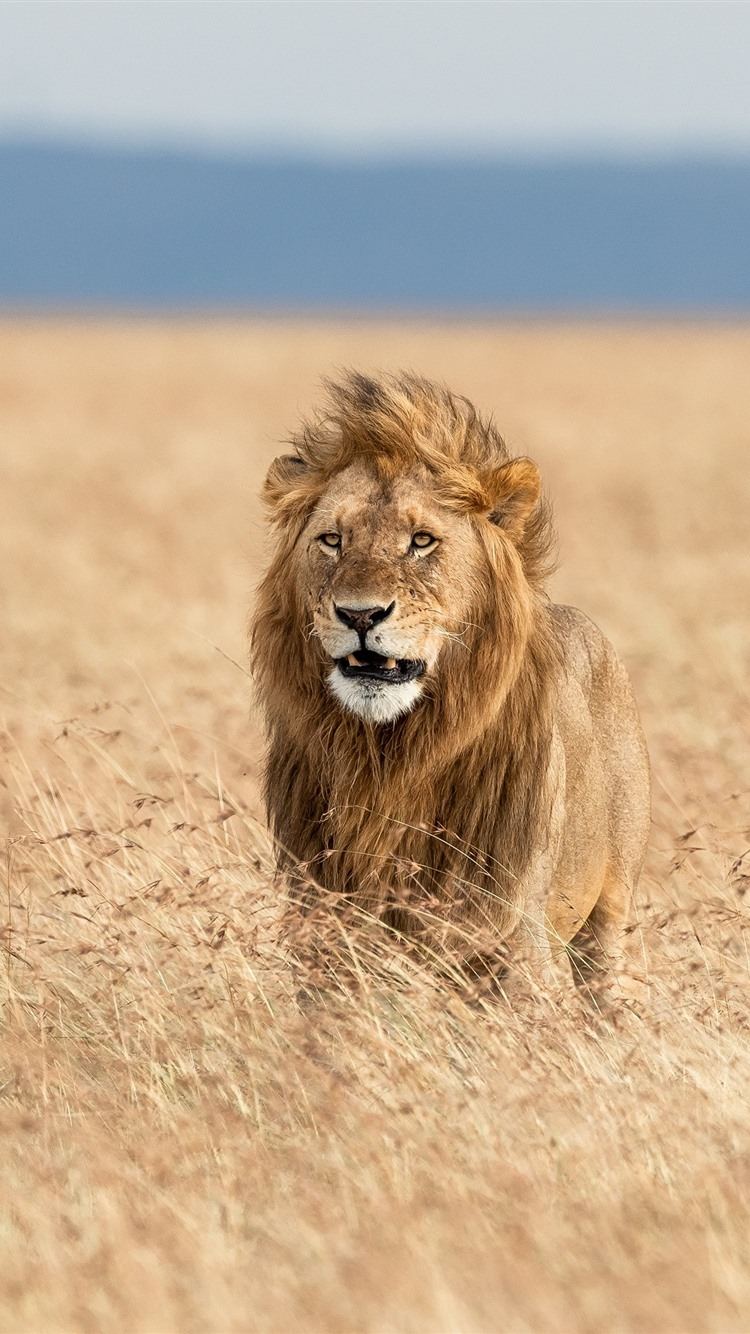 wallpaper lion in the wind africa 3840x2160 uhd 4k. Black Bedroom Furniture Sets. Home Design Ideas