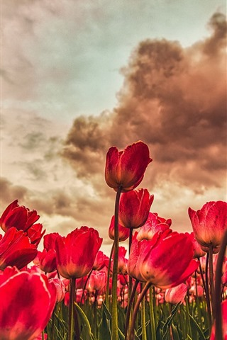 iPhone Wallpaper Red tulips fields, clouds, dusk