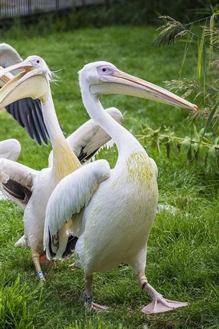 iPhone Wallpaper Some pelicans, bird, green grass
