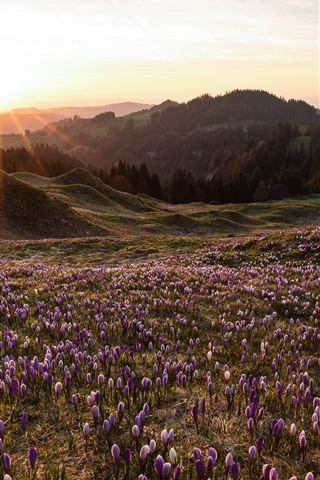 iPhone Wallpaper Spring, crocus blossom, mountains, sun rays, morning