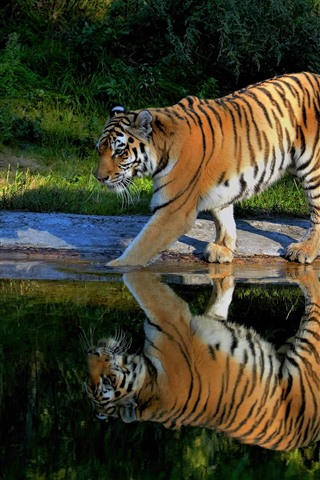 iPhone Wallpaper Tiger walking, pond, water reflection