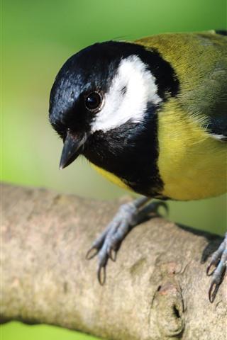 iPhone Wallpaper Tit, bird, tree branch