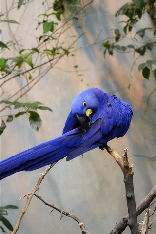 iPhone Wallpaper Two blue feather parrots