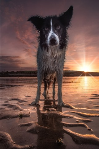 iPhone Wallpaper Wet dog front view, beach, sunset, sea