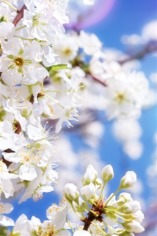 iPhone Wallpaper White apple flowers, blossom, spring, sun rays