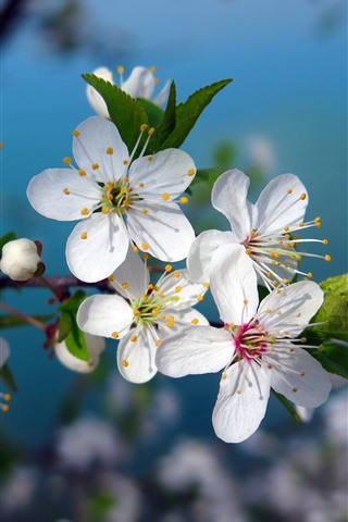 iPhone Wallpaper White cherry flowers bloom, spring