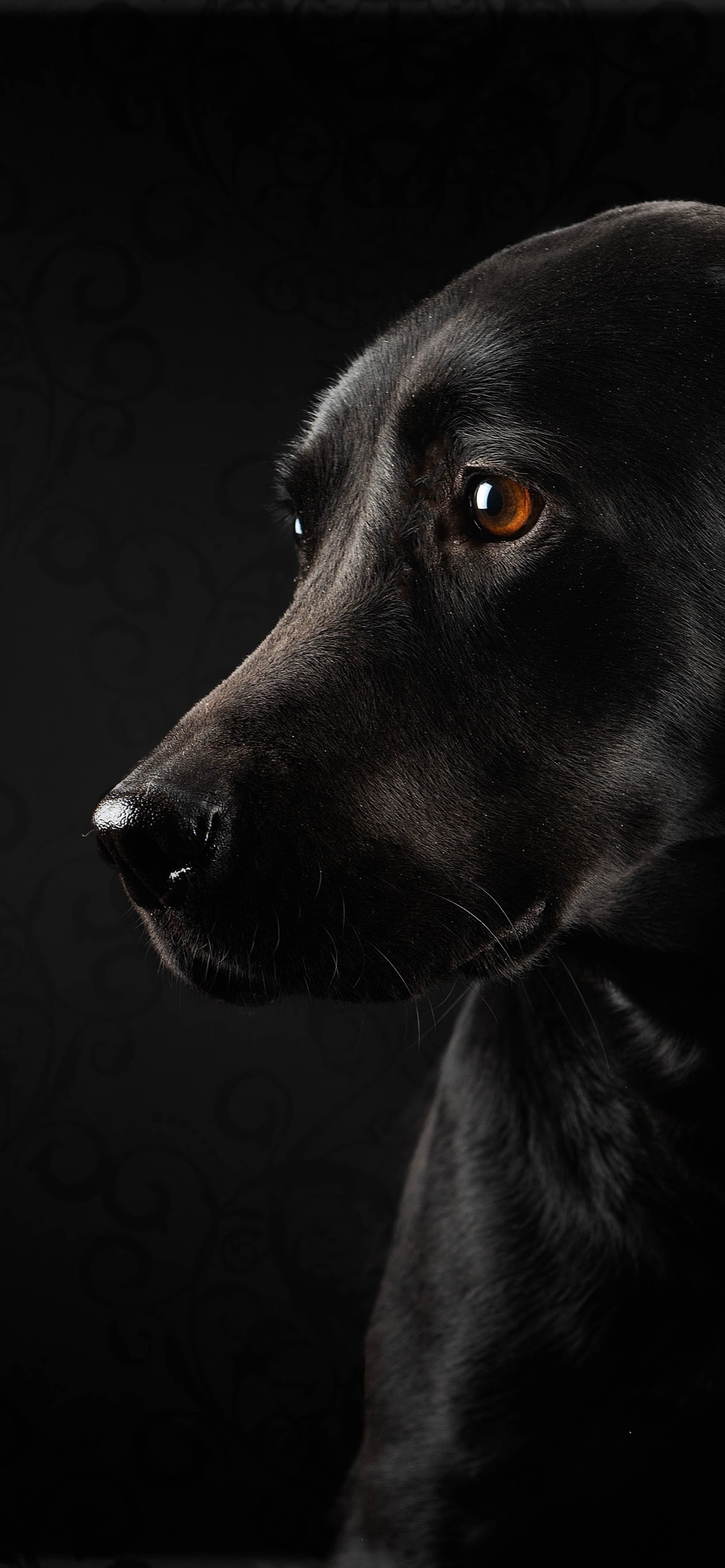Black Dog And Black Background Look 1242x2688 Iphone 11 Pro Xs Max Wallpaper Background Picture Image