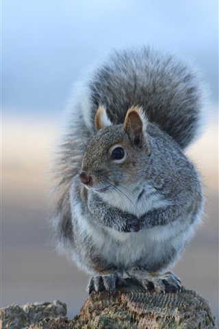 iPhone Wallpaper Gray squirrel, stay