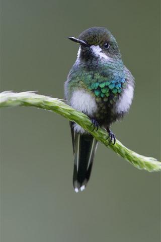 iPhone Wallpaper Hummingbird, rest, grass