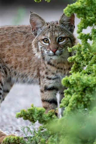 iPhone Wallpaper Lynx, wildcat, green plants