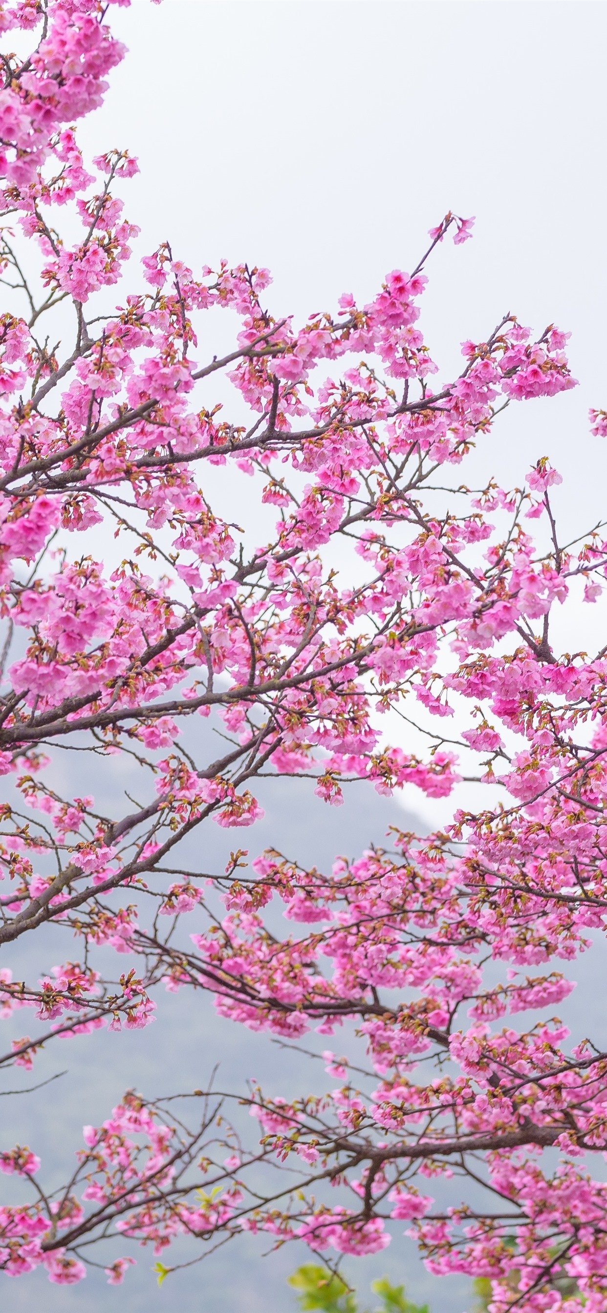 Pink Sakura Bloom Spring Trees Beautiful Flowers