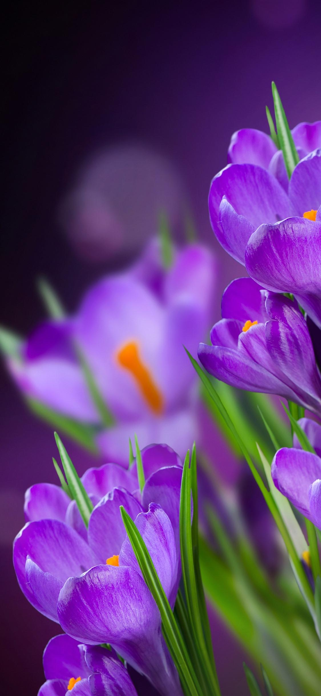 紫色の花 クロッカス かすんでいる背景 1242x26 Iphone 11 Pro Xs Max 壁紙 背景 画像