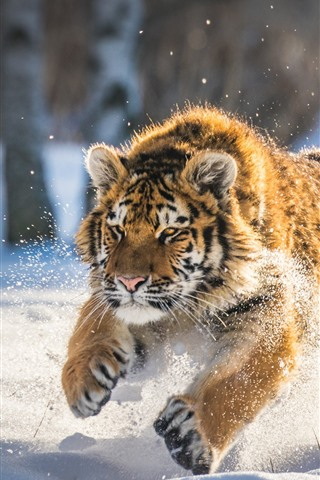 iPhone Wallpaper Tiger running in the snow, winter