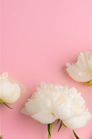 iPhoneの壁紙 白牡丹、ピンクの背景