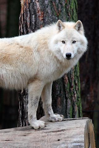 iPhone Wallpaper White wolf, stump, wildlife